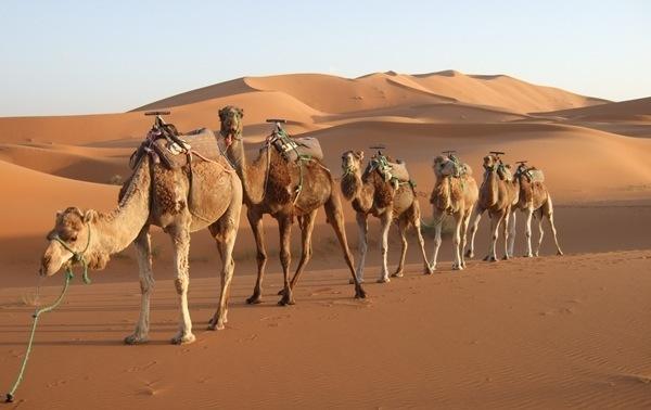 Cuanto vive un camello