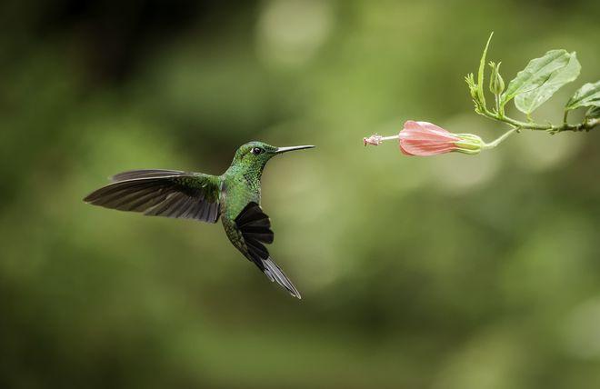 cuanto-vive-un-colibri