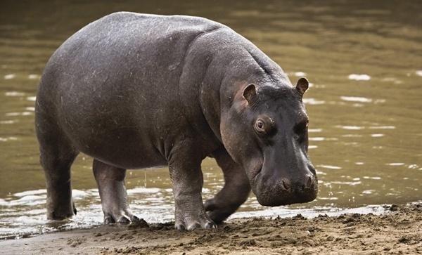 Cuanto vive un hipopotamo
