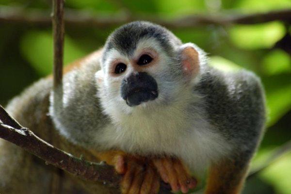 Cuanto vive un mono