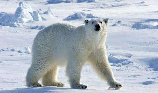 Cuanto vive un oso polar