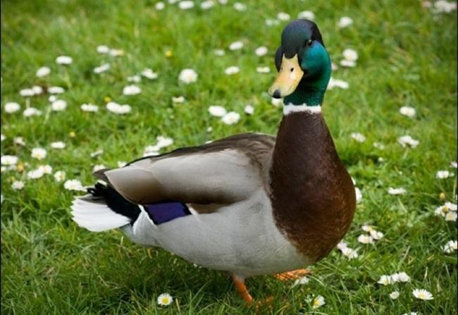 Cuanto-vive-un-pato