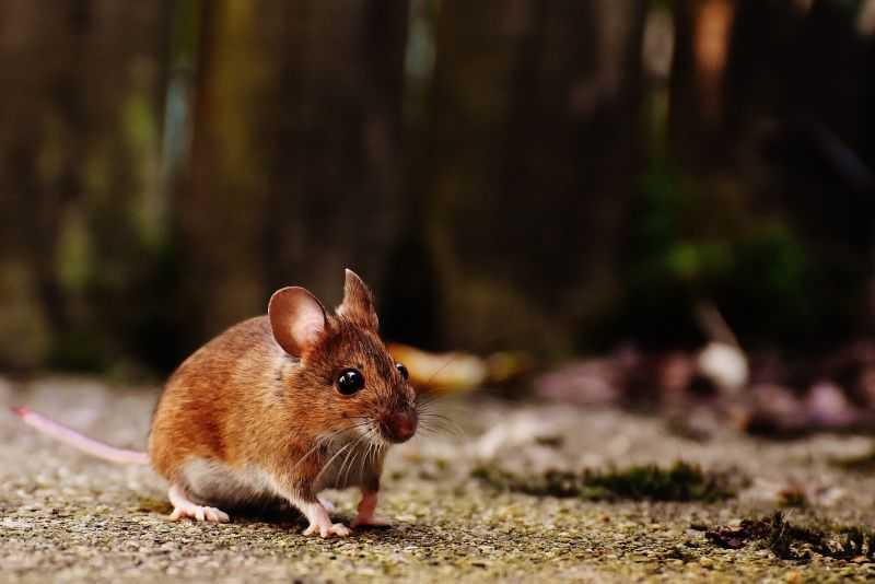 cuanto-vive-un-raton