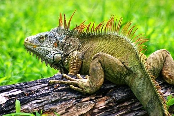 Cuanto vive una iguana