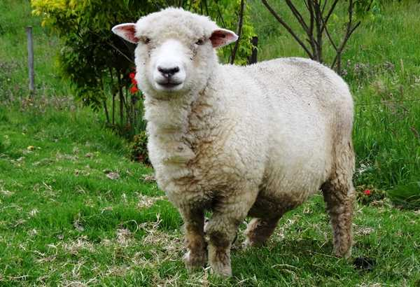 Cuanto vive una oveja