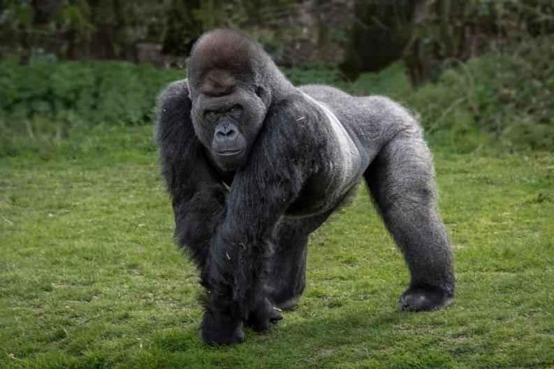 Descifran el genoma de los gorilas más amenazados del mundo