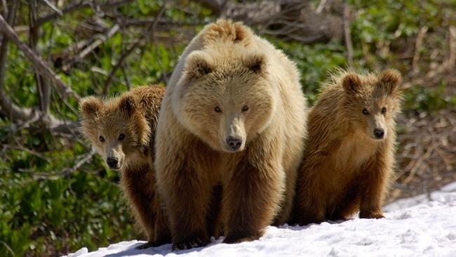 cuanto-vive-un-oso
