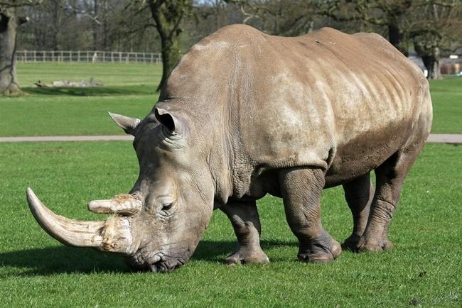 cuanto-vive-un-rinoceronte