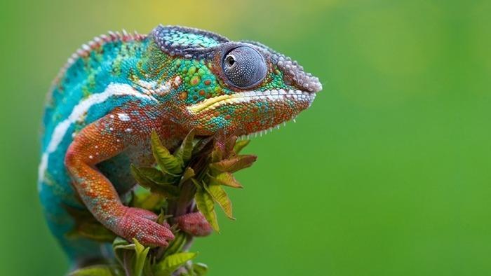 cuanto-vive-un-camaleon