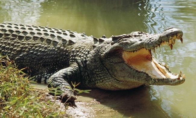 cuanto-vive-un-cocodrilo
