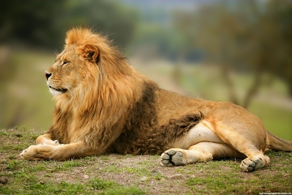 cuanto-vive-un-leon