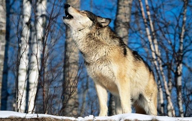 cuanto-vive-un-lobo