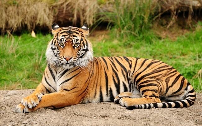 cuanto-vive-un-tigre