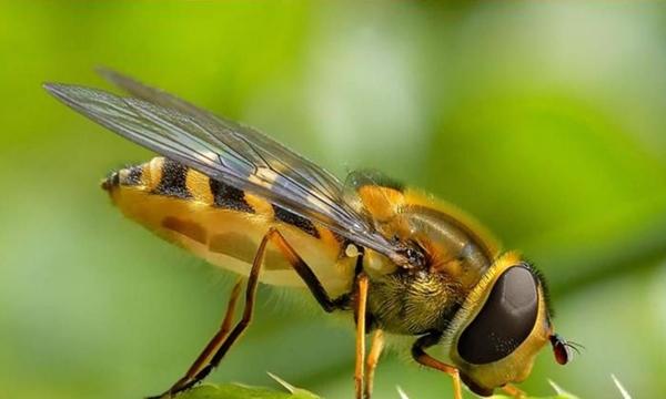 Cuanto vive una abeja