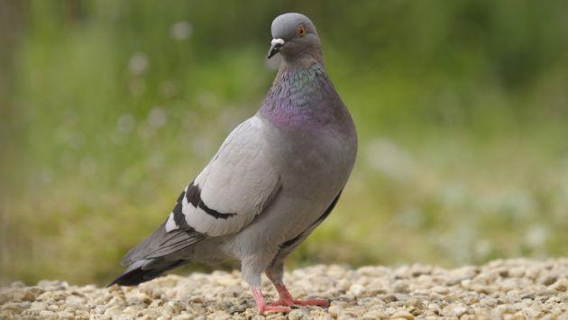 cuanto-vive-una-paloma