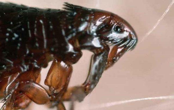 Cuanto vive una pulga