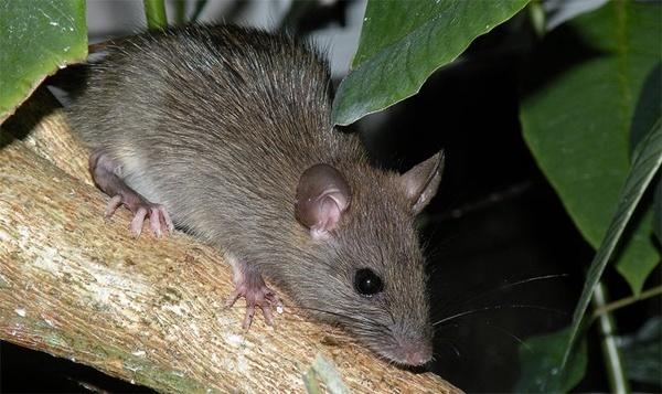 Cuanto vive una rata