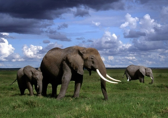 cuanto-vive-un-elefante